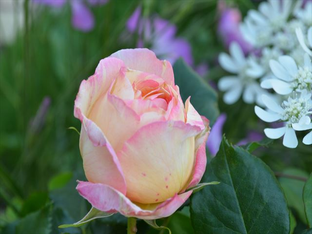 ボンボン ペッシュ 【楽天市場】ペッシュ・ボンボン(大苗予約)7号鉢植え デルバール(Delbard)