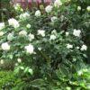 白い旋風  香りのボレロ&爆咲き?ヤマボウシ