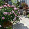 妹のバラ庭へ ウェルカムなクロードモネ&アンティークレンガの小道