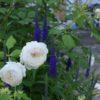 緑に戻る庭のペンステモン ハスカーレッド&ベロニカ