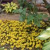 梅雨入り前の庭 ミッドナイトサン&膨らむアナベル