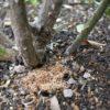 枯れたバラからテッポウムシ(虫画像あり)