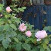 迷う庭の秋バラ