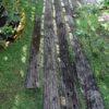 妹の庭へ 秋のクロードモネ&覆ったヒメイワダレソウ