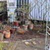 鉢バラの植え替え 剪定 大移動