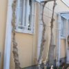 外壁塗装前の準備完了 さらにグルグルになったツルバラ