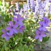 鼻事情と青い花とバラ事情