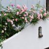 妹庭のアンダー ザ ローズ&実家の庭のバラだより