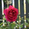 切れなかった庭と急成長の実生バラ