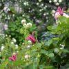 緑に戻っていく庭のバラとクレマチス